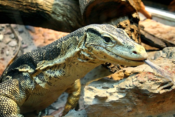 Monitor Lizard at the Wildlife World Zoo 2