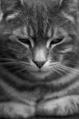 Percy (itmpa) Tags: pet cats pets slr monochrome cat canon feline kitty fred kitties felines desaturated percy 30d moggy moggies pussycats canon30d percyfred fredpercy dapuddycats archhist