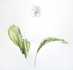 Second wash (Sigrid Frensen) Tags: white flower green leaves wip watercolour allium ramsons wildgarlic brlauch daslook botanicalart