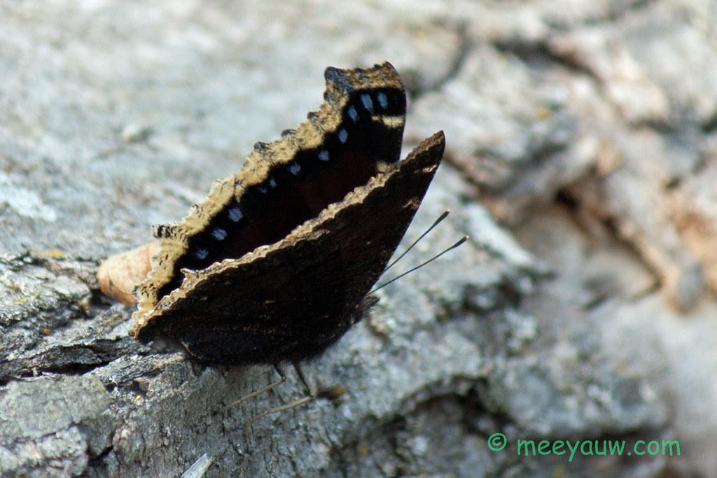 mourning cloak butterfly   08.jpg