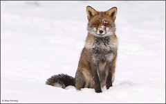 Posing ... just for you ... (Alex Verweij) Tags: wild snow nature canon sneeuw natuur posing lucky fox 7d vos poseren allxpressus alexverweij bbng