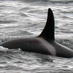 GALLERY_Orcas
