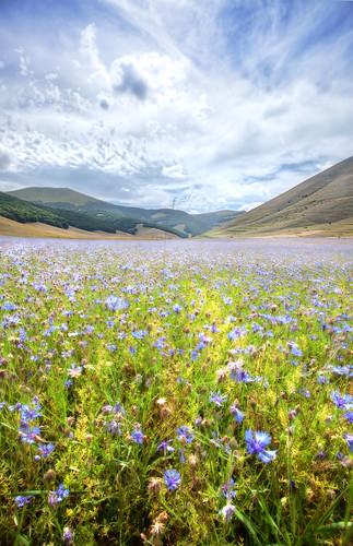 Italy, Apennine Mountains, Umbria, 'Violet Blue', Castelluccio di Norcia, Flower Fields