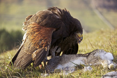 The Reality Of Nature (InShot Images) Tags: rabbit bird nature field closeup dead kill hawk yorkshire reality hunter birdofprey talons hunted harrishawk mantling canon50d