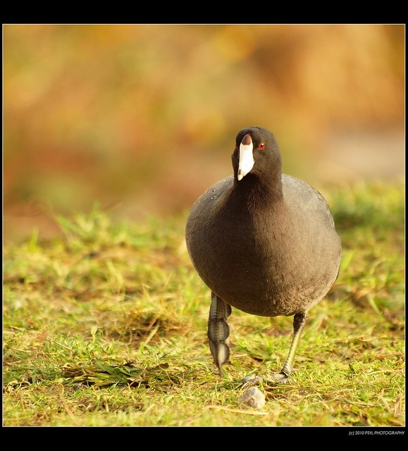 Coot (Family Rallidae) showing me its lobed feet