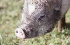 "Wildschweins ""Steckdose"" (borntobewild1946) Tags: nose boar nase wildschwein schnauze steckdose nasenlcher schnute berndloos borntobewild1946 copyrightbyberndloos"