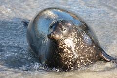 Seaweed faced Seal (San Diego Shooter) Tags: sandiego lajolla seal seals lajollaseals