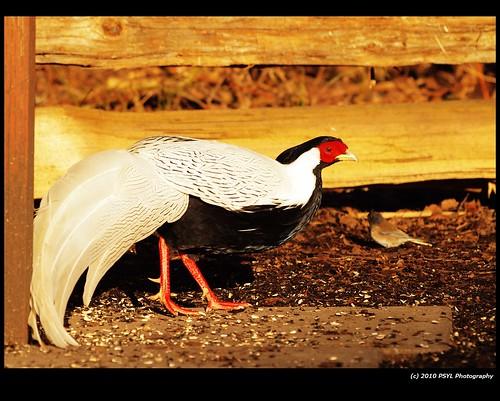 Silver Pheasant (Lophura nycthemera)