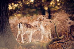 it's cleaning time! (andrew evans.) Tags: lighting wood morning autumn trees england sun nature fairytale forest sunrise golden countryside kent woods nikon bokeh wildlife calm deer ethereal wonderland storybook magical f28 enchanted d3 400mm