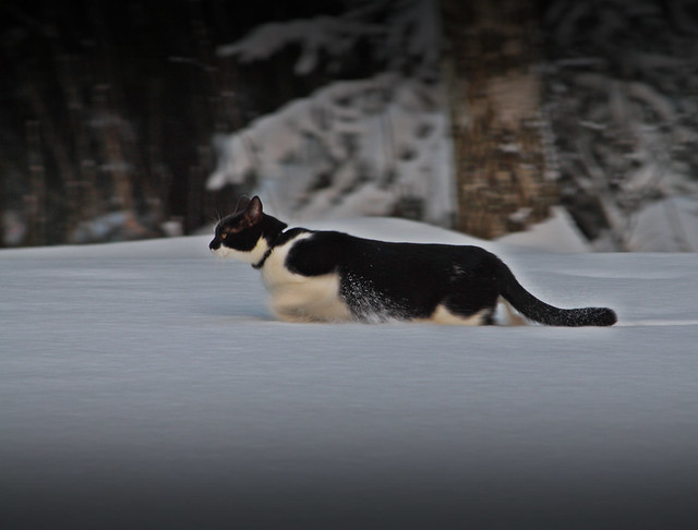 cat, snow, walking, katt
