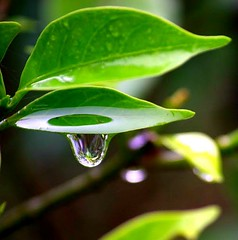 fbdew (NithyaKumaresh) Tags: plant green nature beauty leaves rain leaf drop tip monsoon droplet raindrop