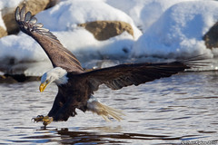 The moment of truth! (Todd Ryburn) Tags: birds canon eagle baldeagle iowa raptor mississippiriver raptors 2010 baldeagles 800mmf56 canon1dmarkiv lockdam14