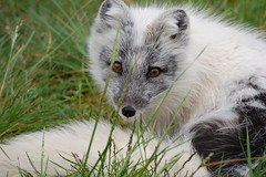 Adorable..me..? (~Ranveig Marie~) Tags: park white cute face grass animal mammal zoo tail natur norwegian fox rev mammalia norsk arcticfox nordisk alopexlagopus sare skandinavisk alopex pattedyr fjellrev vulpeslagopus polarrev namsskoganfamiliepark hvitrev arktiskrev namsskoganfamilypark