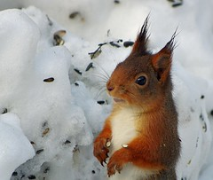 rets frsta ekorre/First squirrel of the year (sorundalasse) Tags: snow squirrel sweden sn ekorre sorunda