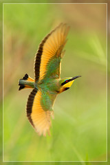 Wind beneath my wings (hvhe1) Tags: africa bird nature animal southafrica wings bokeh wildlife flight natuur safari mala vogel gamedrive beeeater gamereserve vleugel malamala littlebeeeater meropspusillus bijeneter specanimal kleinbyvreter dwergbijeneter hvhe1 hennievanheerden avianexcellence