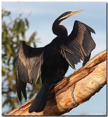 PC300916 (Steve Daggar) Tags: cormorant kakadu darter fotocompetition fotocompetitionbronze