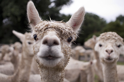 Noticing - alpaca...