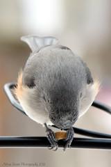 ONE NOTCH ON THE NUT (Arline Grant) Tags: bird feed nut titmouse