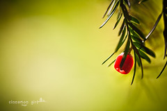 i'm not saying it's going to be easy, i'm telling you it's going to be worth it. (cinnamon girl ) Tags: christmas winter sun green nature pine backlight catchycolors berry bokeh yew needles yewberry
