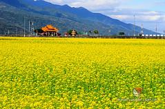 20110118_0354_花東縱谷_油菜花季