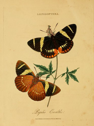 019-Papilio Evalthe- An epitome of the natural history of the insects of India…1800- Edward Donovan