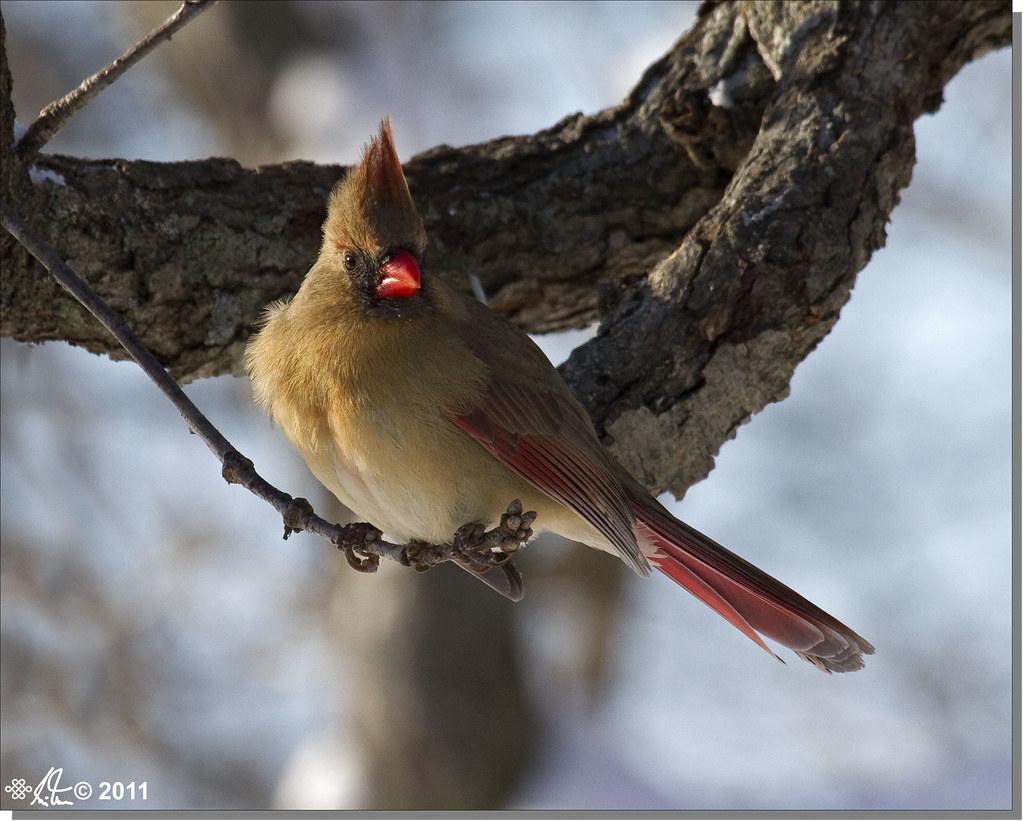 Northern Cardinal (female) - Cardinalis cardinalis