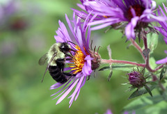 IMG_6711 Bee on Aster (suebmtl) Tags: aster bee pollinator purple autumn pollination feeding