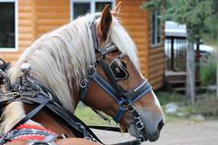 Healy AK ~ Covered Wagon excursion - HBW & HWW! (karma (Karen)) Tags: healy alaska horses coveredwagonexcursion belgians dof bokeh hbw topf25