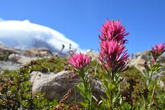 Castilleja parviflora on Burroughs Mountain (Sotosoroto) Tags: dayhike hiking mtrainier burroughsmountain washington cascades mountains flower paintbrush indianpaintbrush