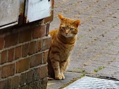 Friendly Salisbury cats (Sweet Mango 1965) Tags: salisbury wiltshire cat feline ginger british shorthair