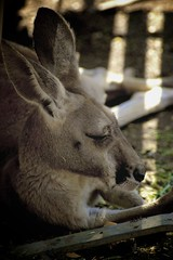 lazy kangaroo_2 (sherpabear) Tags: light shadow animal bench zoo jump furry kick sleep sydney australia ears kangaroo sanctuary bounce