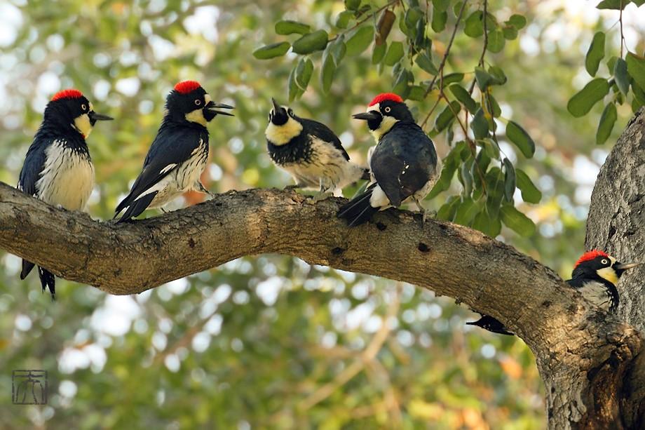 Acorn Woodpecker112810-4