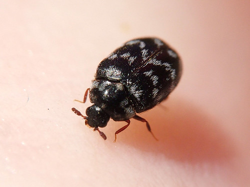 Thirsty carpet beetle