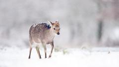 a winter journey (andrew evans.) Tags: morning winter england white snow cold nature fairytale forest countryside droplets kent woods nikon bokeh snowy wildlife calm deer ethereal wonderland storybook magical f28 enchanted d3 400mm