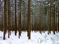 Winter Wood / Winterwald (Claude@Munich) Tags: wood schnee trees winter snow forest germany bayern bavaria oberbayern upperbavaria parallel wald bume fichte fichten picea monoculture forst nadelbaum piceaabies nadelwald claudemunich monokultur oberhaching rottanne denwaldvorlauterbumennichtsehen europeanspruce fichtenschonung