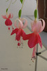 Fuchsia 'Cindy van Eijk' (pennyeast) Tags: flower garden botanical fuchsia capetown onagraceae pae papaalphaecho