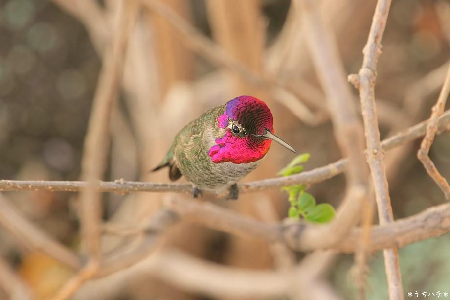 Anna's Hummingbird 121210-4