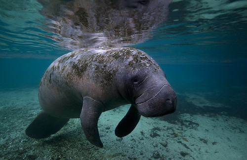 Manatee at Crystal River in Florida