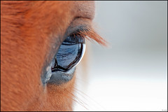 The World Trough His eyes.... (Ruud & Arianne NL) Tags: winter horse orange brown snow holland reflection eye nikon december sneeuw nederland nikkor brabant ruud oranje 2010 bruin oog paard noordbrabant reflectie moergestel 70300vr paardenoog d3000