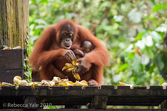 RYALE_Sepilok_15 (Yale_Rebecca) Tags: monkey jungle malaysia borneo orangutan ape endangered sabah greatape endangeredspecies threatened sepilokrainforest rebeccayale rebeccayalephotography sepilokrainforestsanctuary