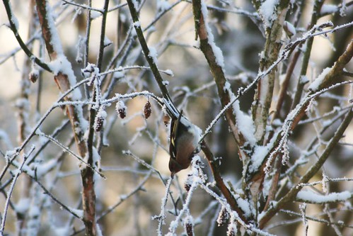 Chaffinch in Winter