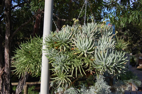 Hanging basket of Dudleya hassei