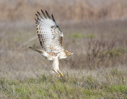 red-tailed hawk at arroyo laguna