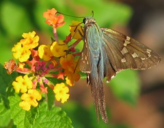 Long-tailed skipper on lantana (Vicki's Nature) Tags: blue yard canon butterfly georgia metallic skipper yelow lantana s5 longtailedskipper 6974 vickisnature beautifulworldchallenges thechallengefactory cfwinner readygame bwcgnaturecloseups denverauduboncomp2012 readymother cfstu