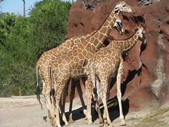 Giraffes 2 (roilynn) Tags: wild birds animals zoo monkey texas gorilla bears turtles wallaby tigers zebra giraffe hog camels brownsville