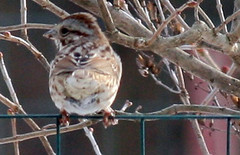 winter song sparrow