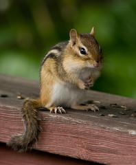 Soooooo, What'Cha Bin Up To? (SavingMemories) Tags: cute mouse rodent hands squirrel critter chipmunk chippy savingmemories suemoffett soooooowhatchabinupto