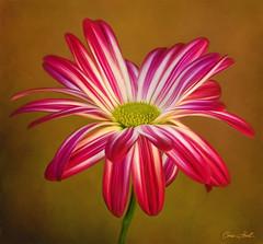Chrysanthemum (ChristopherLeeHewitt (Away)) Tags: flowers red painterly flower nature garden petals flora mum bloom chrysanthemum chrishewitt colorphotoaward silveramazingdetails
