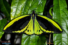 cairns birdwing,  ornithoptera euphorion (hakoar) Tags: life portrait plant macro cute eye nature beautiful face look closeup fauna butterfly bug pose season insect us wings eyes colorful pattern looking legs florida body head object wildlife unitedstatesofamerica leg wing vivid posing lepidoptera northamerica posture lovely tentacle wingspan arthropoda antennae tentacles invertebrate stance insecta papilionidae cairnsbirdwing papilioninae ornithopteraeuphorion