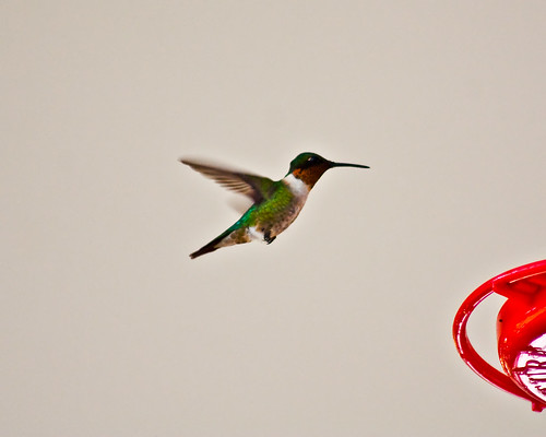 Lr Hummingbird--2308